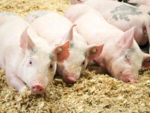 żywienie świń